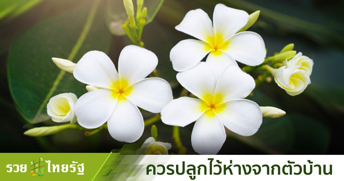 ลั่นทม ดอกไม้ในตำนานที่เต็มไปด้วยความเชื่อ