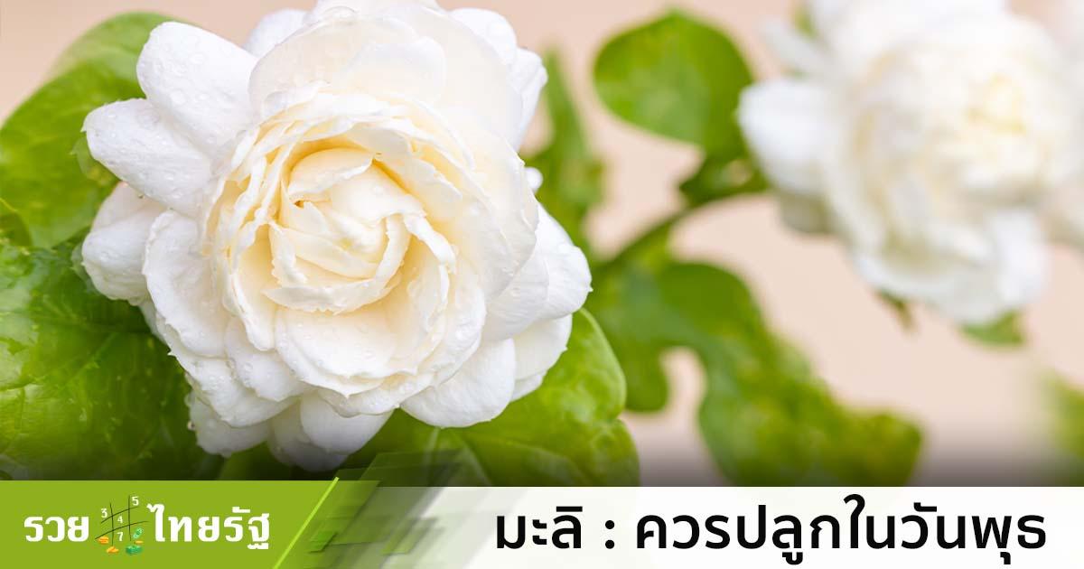 ดอกมะลิ สัญลักษณ์วันแม่ กับความเป็นมงคลของผู้ปลูก